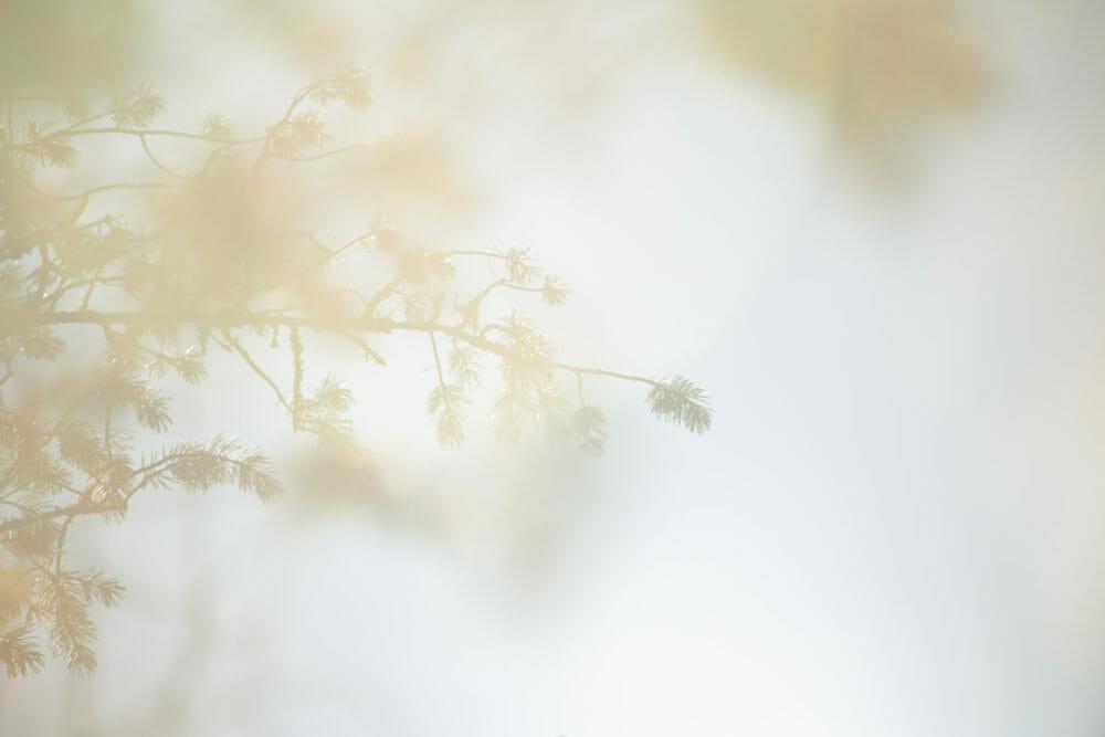 Sapin en contre jour dans le Parc national de Hossa