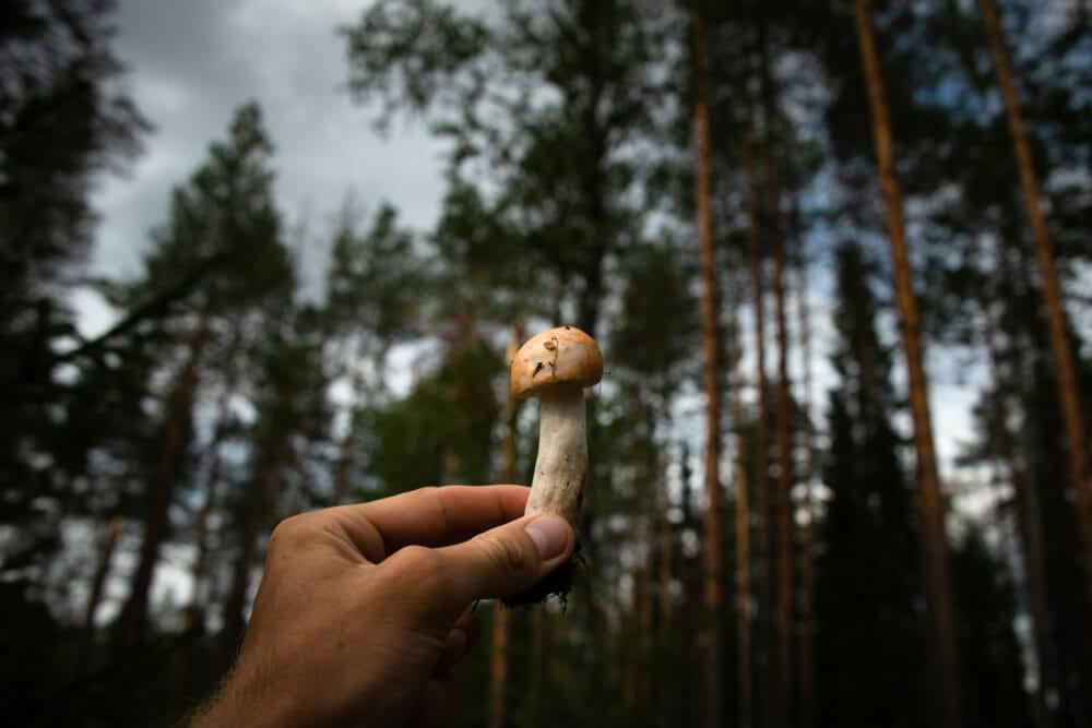 Champignon Laponie finlandaise