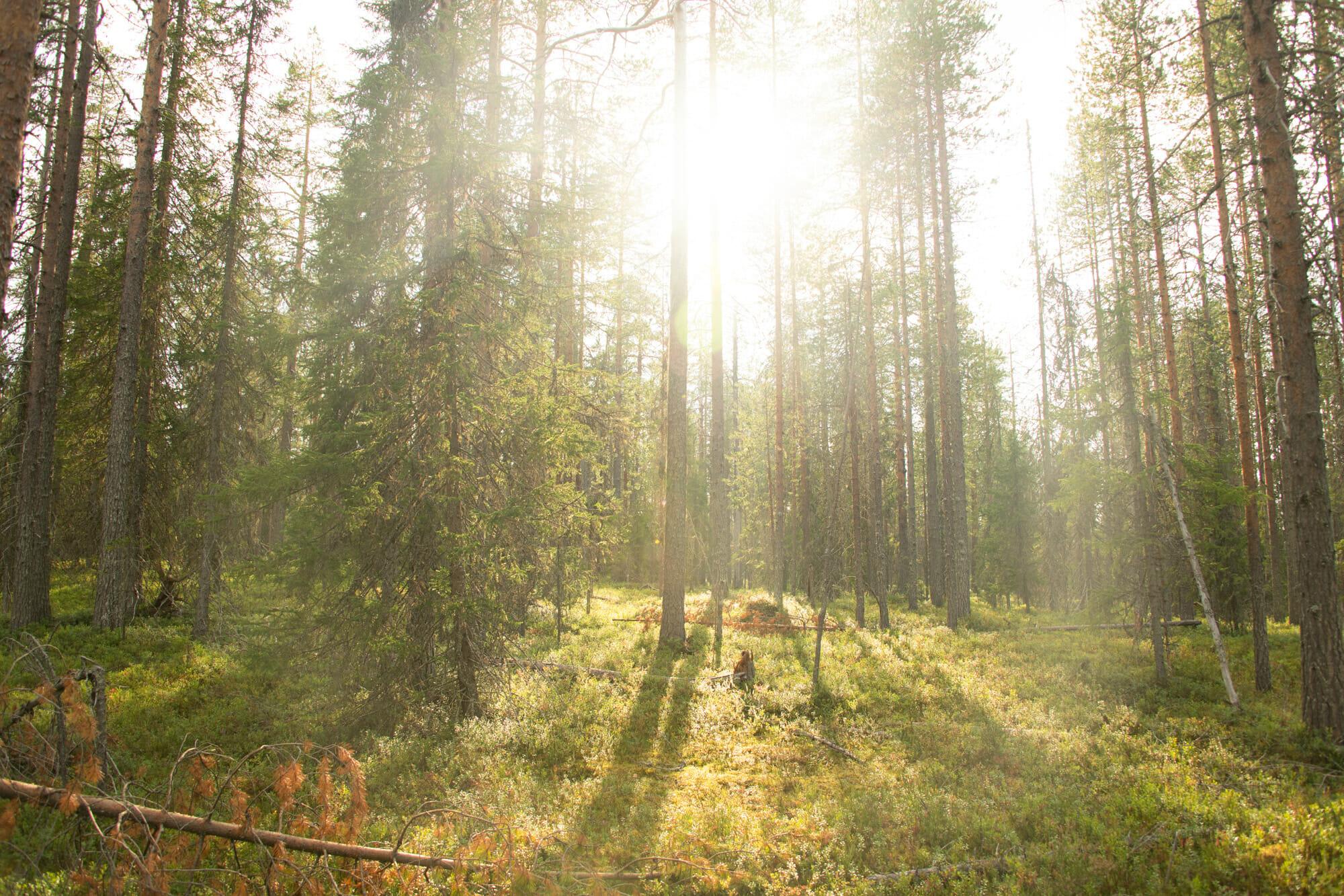 Soleil dans une forêt en Laponie finlandaise
