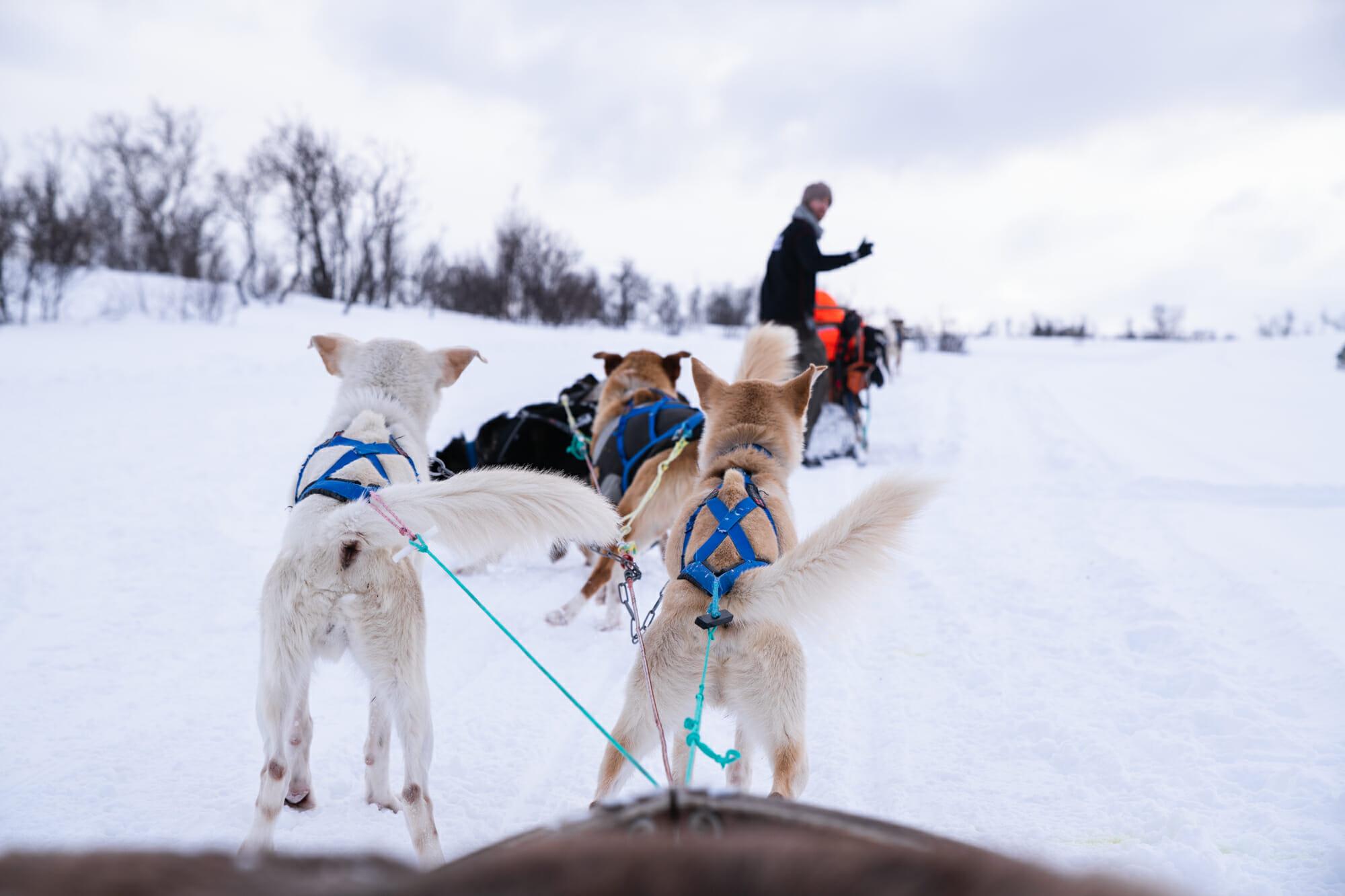 chien de traineau Norvège du Nord