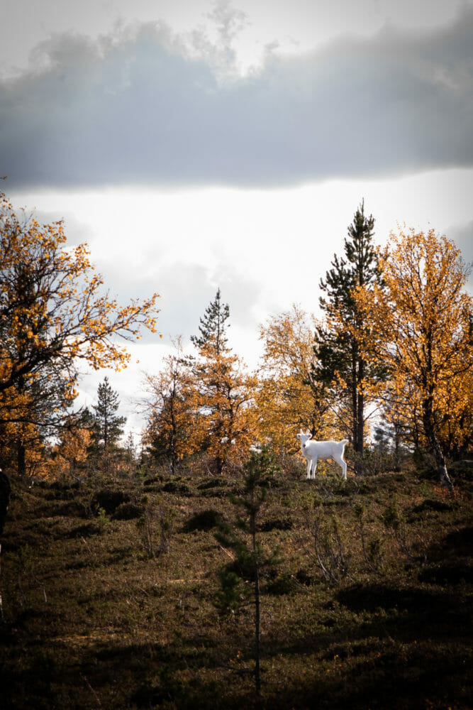 Renne en Laponie finlandaise