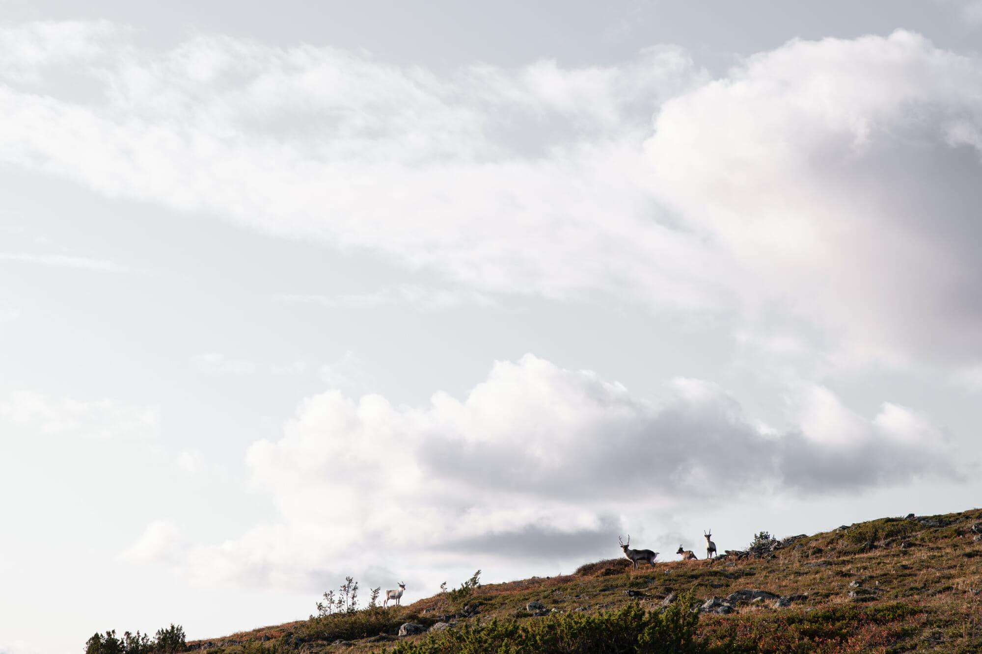 Des rennes sur la crête