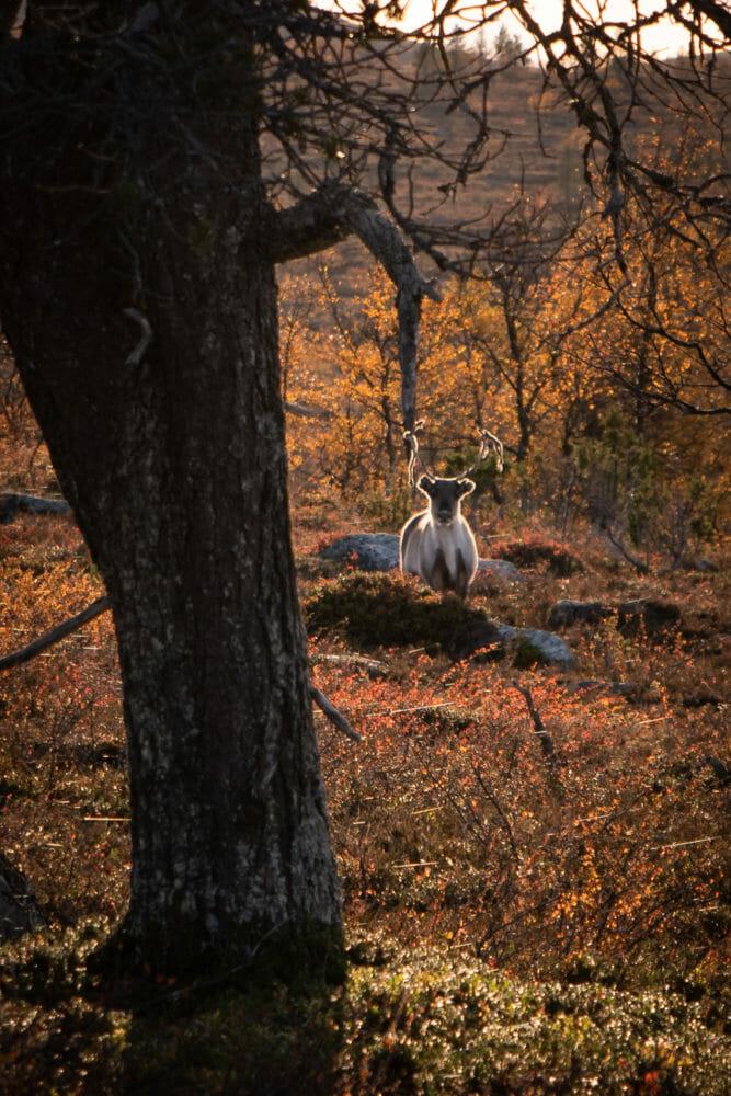 Des rennes en Laponie finlandaise