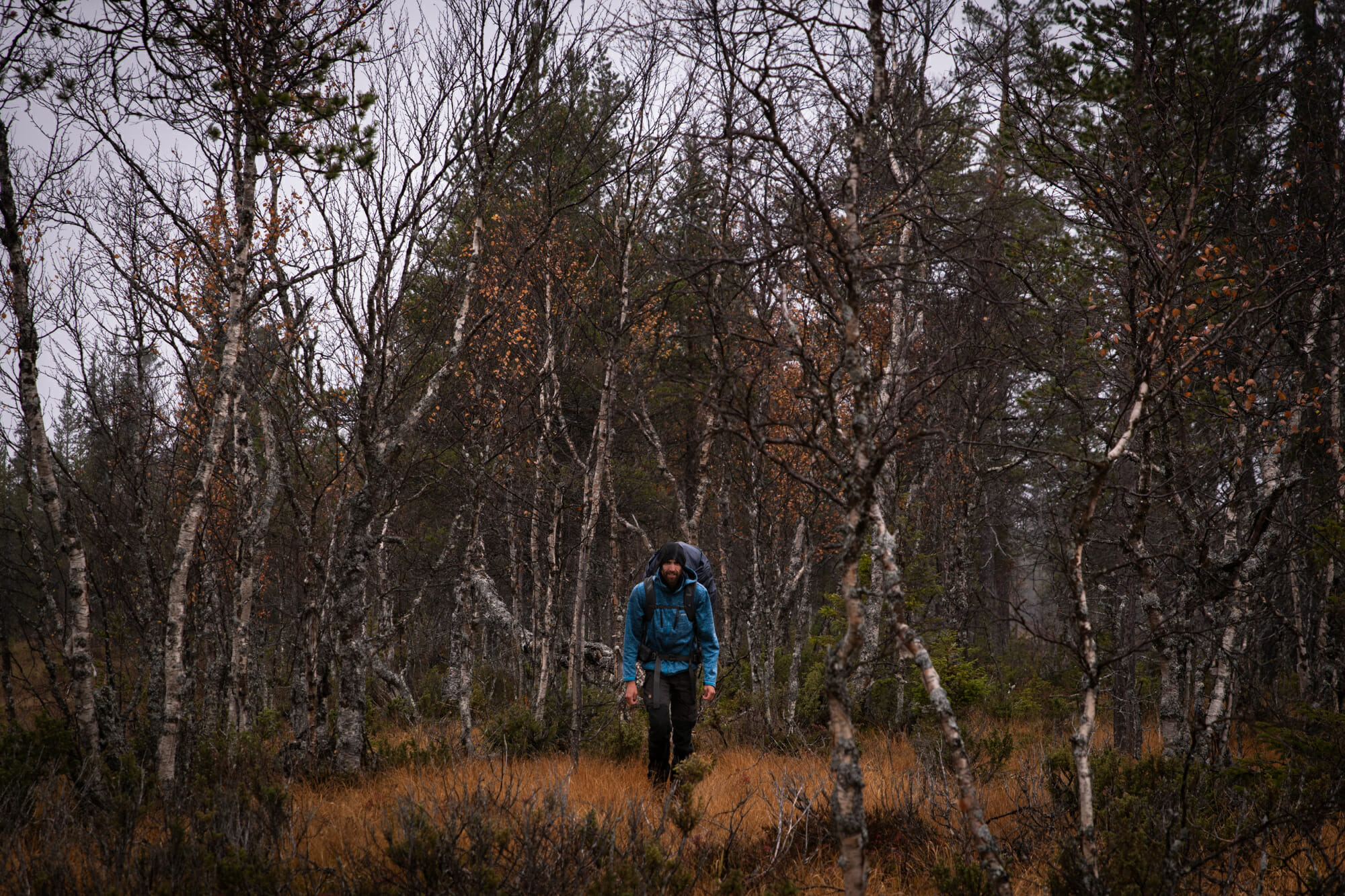 Marcheur dans les bouleaux en Laponie finlandaise