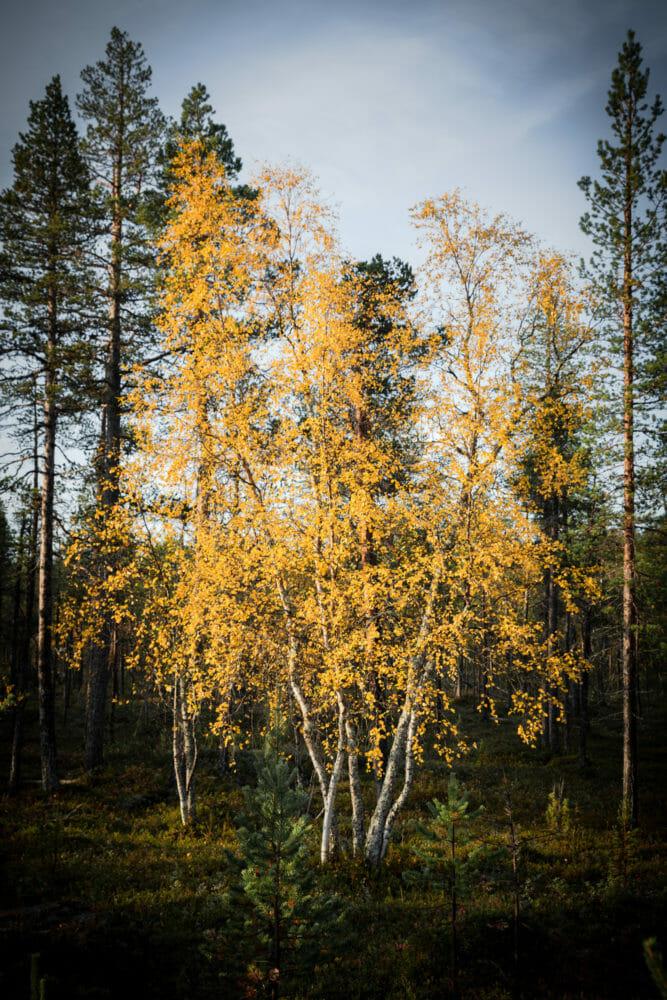 Ruska en Laponie finlandaise