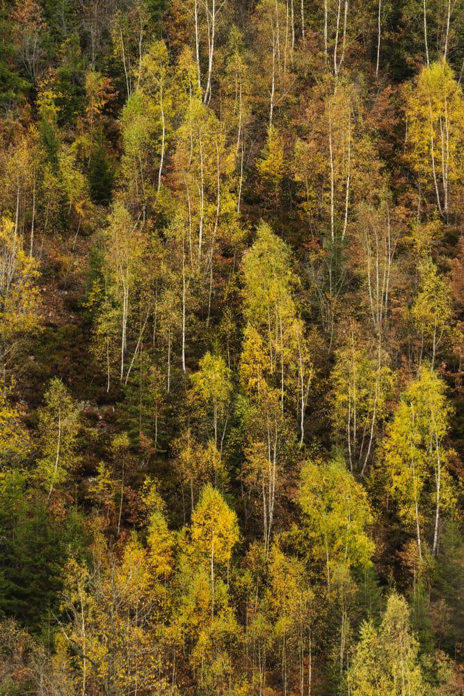 Arbres d'automne en Ardenne