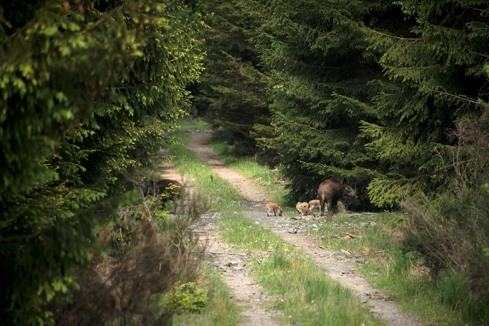 Sangliers en Forêt de Saint-Hubert