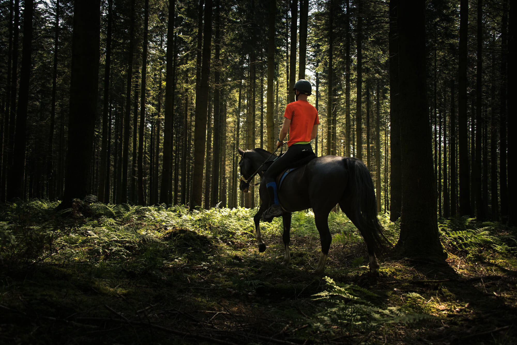 Cheval dans une sapinière en Ardenne
