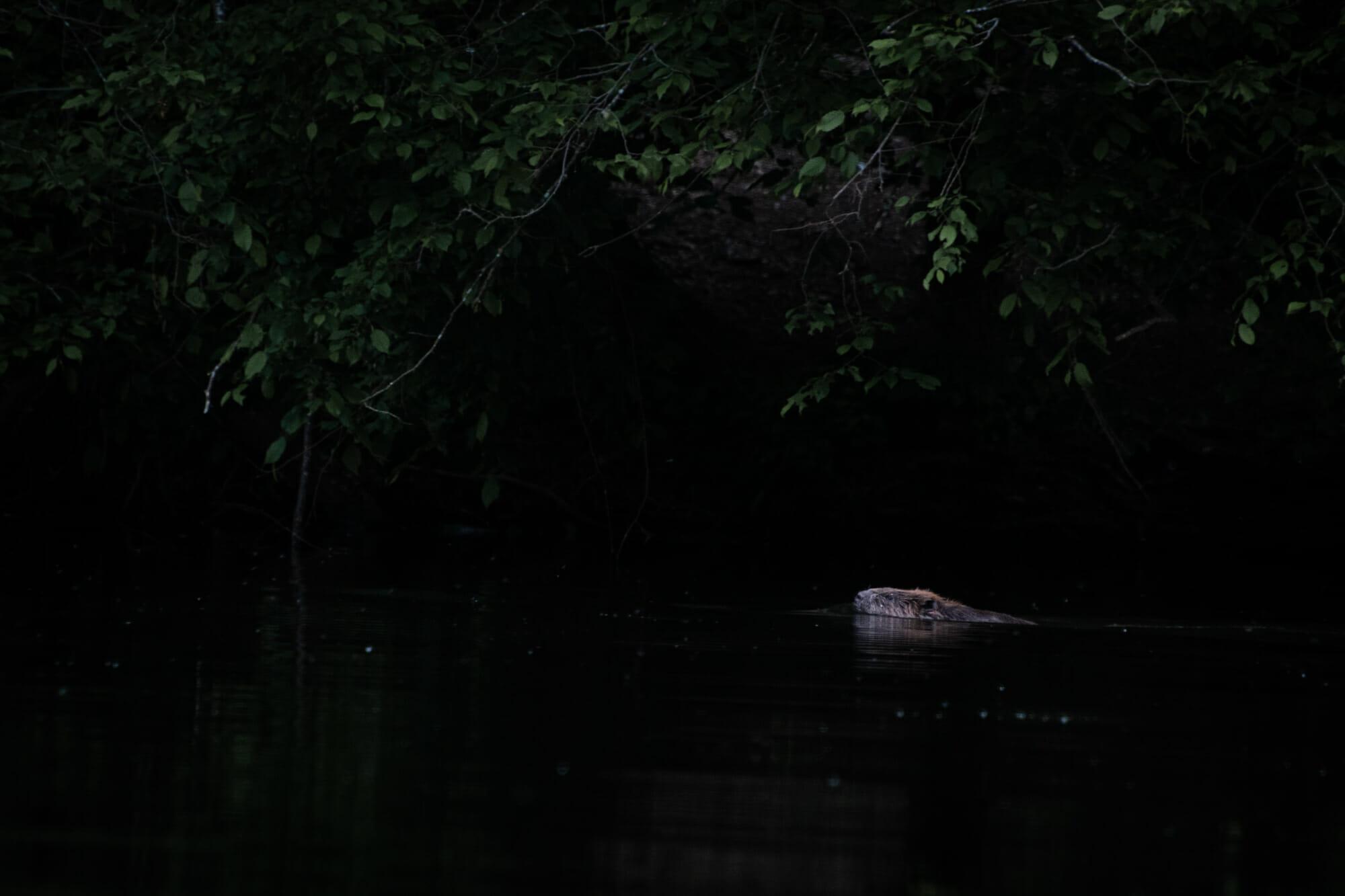 Castor au Lac de Nisramont